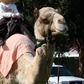 Camel Rides in Kommetjie - Cape Town